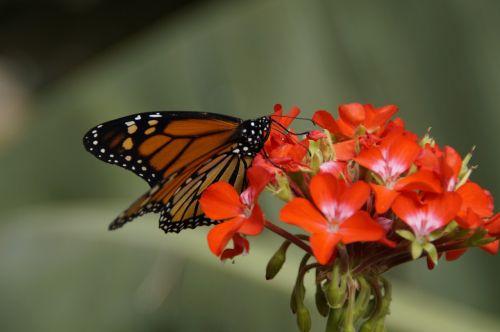butterfly monarch butterfly edelfalter