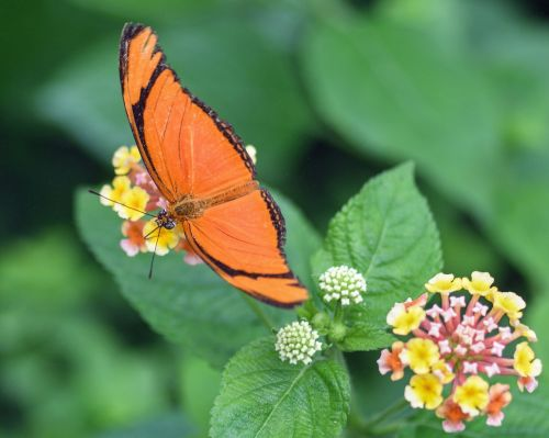 butterfly exotic drias iulia