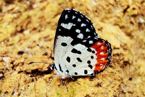butterfly rhopalocera deltota