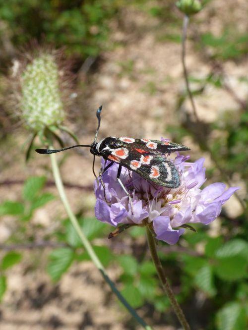 butterfly zygaena filipendulae gitaneta