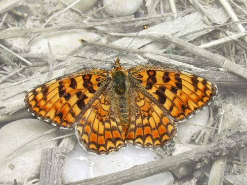 butterfly maiden more melitaea phoebe
