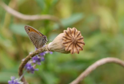 butterfly poppy capsule nature