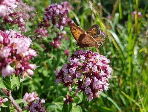 butterfly butterflies meadow brown