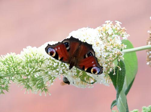butterfly peacock butterfly buddleja davidii