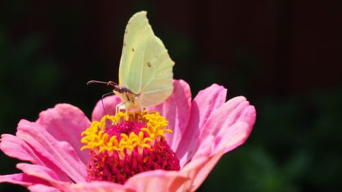 butterfly,insect,zinnia,flower,nature,macro,insects,wings,flowers,summer,blooms,july,flower summer