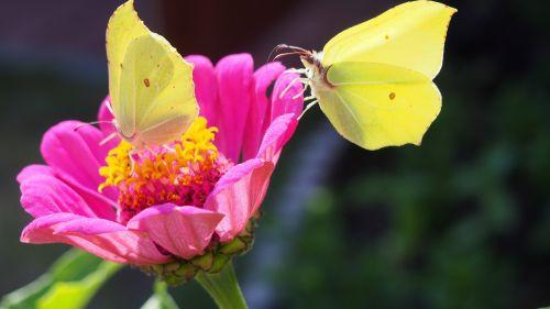 butterfly,butterflies,insect,nature,summer,flower,zinnia