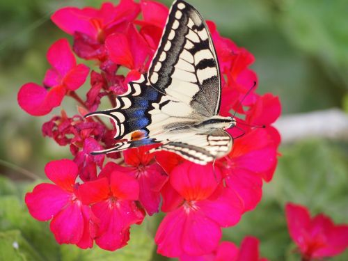 butterfly blooms nature