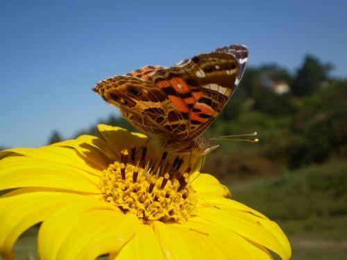 butterfly sucking yellow flower