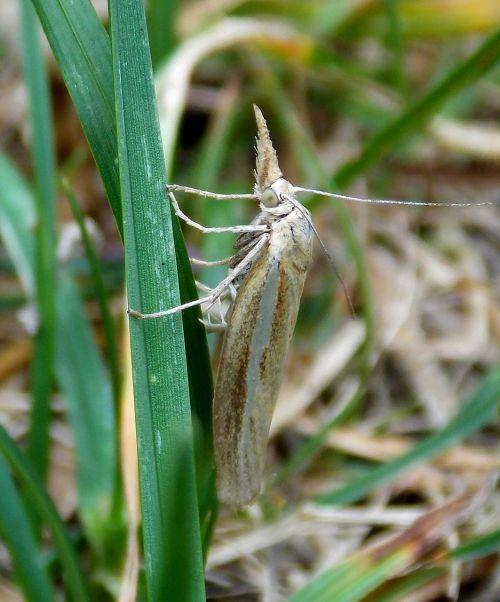 butterfly borer grass borer