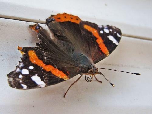butterfly atalanta vanessa atalanta