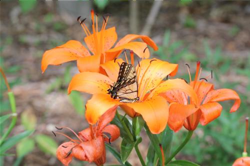 drugelis,rytinė swallowtail,vabzdys,apdulkinimas,apdulkinimas,lelija,gėlė,gamta,žiedadulkės