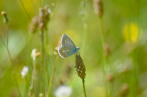 butterfly argus-silver-studded blue common blue