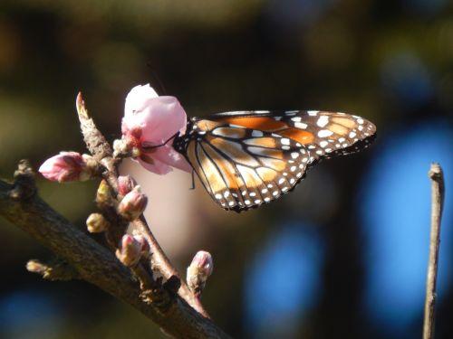 butterfly sucking peach blossom