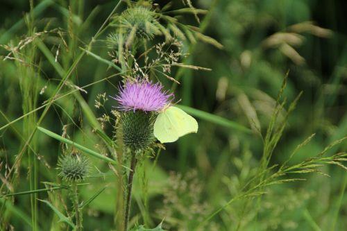 butterfly gonepteryx rhamni animal