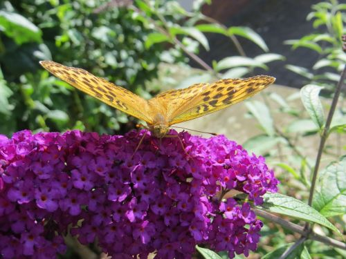 butterfly buddleja davidii purple flower