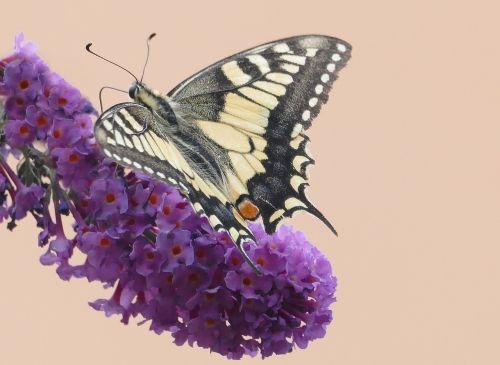 butterfly butterflies swallowtail papilio machaon