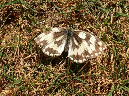 butterfly marbled white