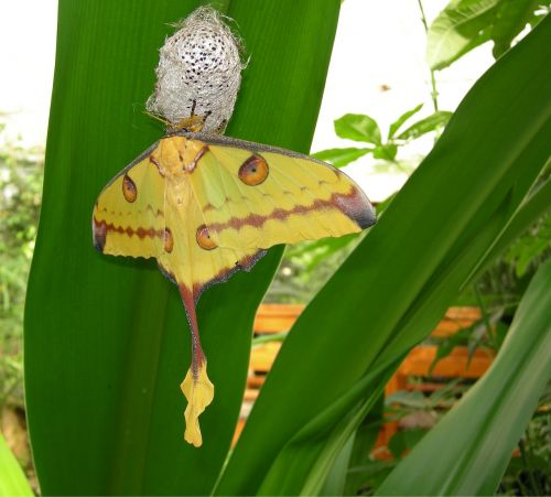 butterfly cocoon moth