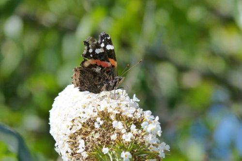 butterfly proboscis antennae