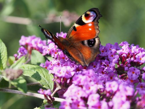 butterfly summer lilac lilac