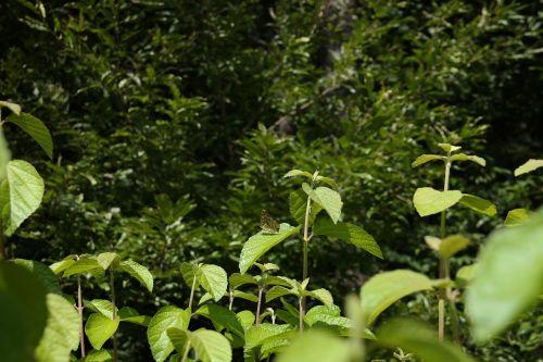 butterfly greenness bush