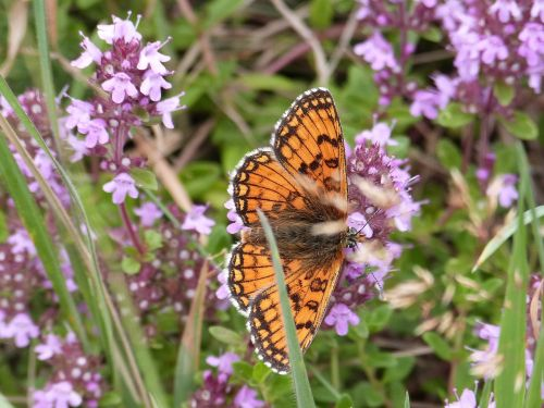 butterfly mother-of-thyme nature