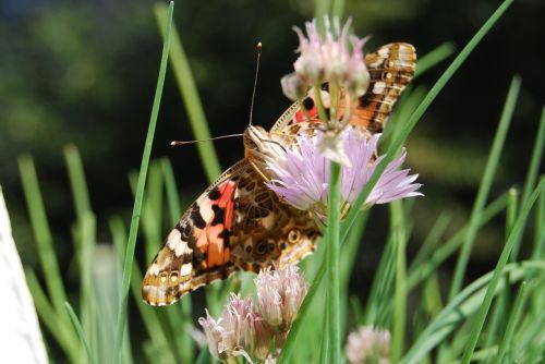 butterfly proboscis suck