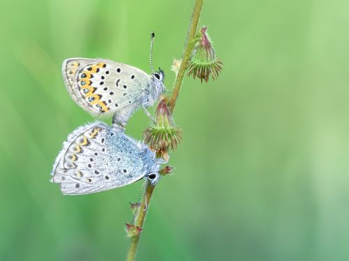 butterfly common blue pairing