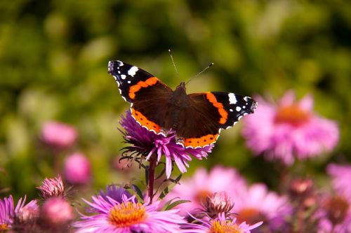 butterfly admiral flower