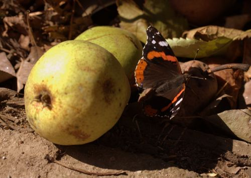 butterfly food para