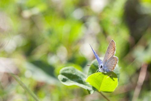 drugelis,makro,vabzdys,gamta,vasara,klaida,sparnai,žalias,dobilas,augalas,lapai,mažas,antena