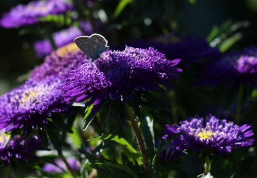 butterfly blue flower