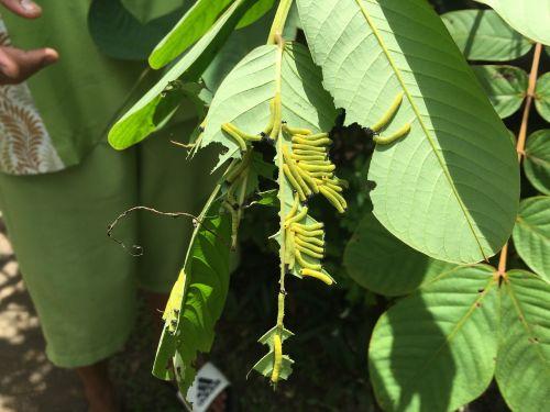 drugelis,lerva,c,pupa,ciklą,biologija,metamorfozė