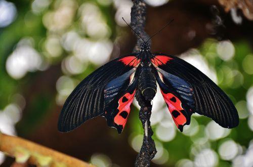 butterfly scarlet schwalbenschwanz papilio rumanzovia