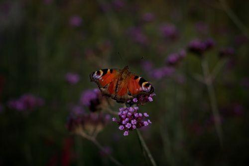 butterfly peacock flower