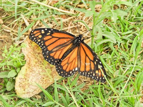 butterfly monarch bolivia