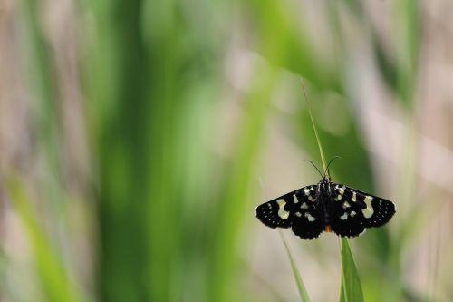 butterfly moth black