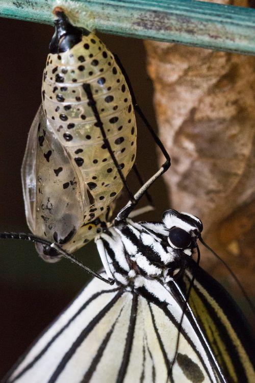 butterfly chrysalis pupa