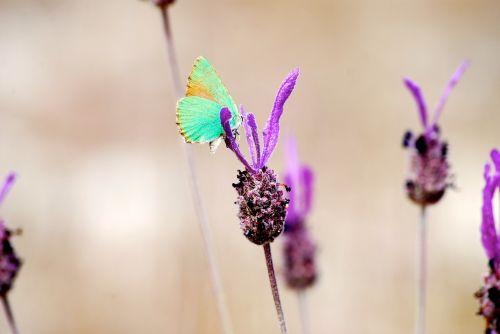 butterfly flower senegal