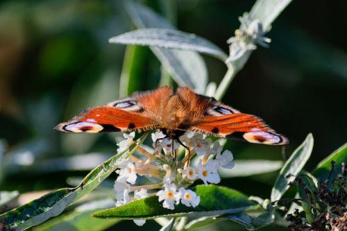 butterfly peacock edelfalter