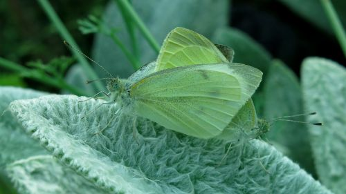 butterfly small cabbage white ling white ling