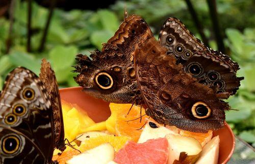butterfly owl butterfly edelfalter