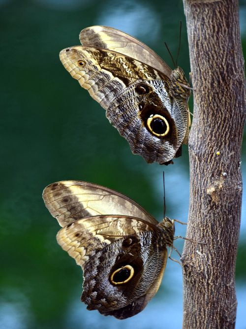 butterfly owl butterfly tropical
