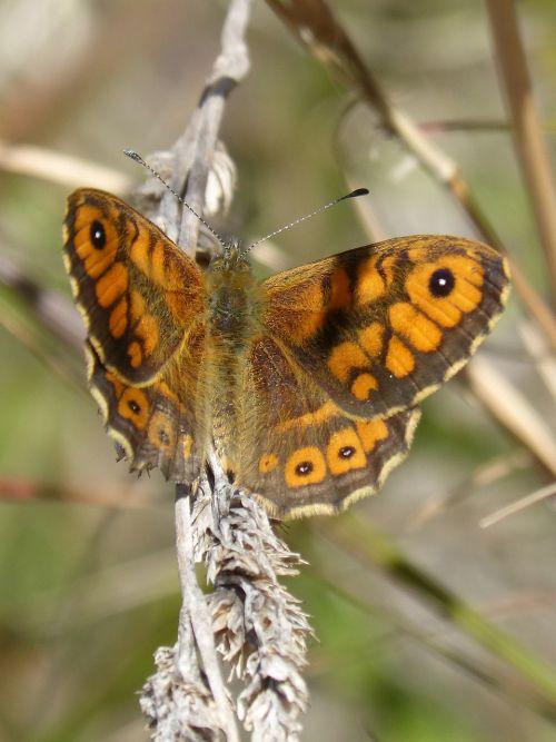 butterfly lasiommata megera nature