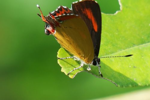 butterfly insect no crest of the vertebral animals