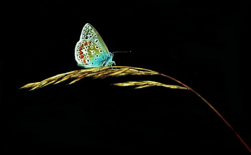 butterfly butterflies common blue