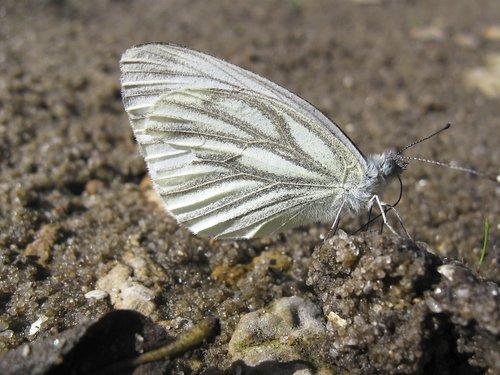 drugelis, vabzdys, pobūdį, sparnas, bespozvonochnoe, gyvosios gamtos, mažai, vasara, miela, krupnyj planas, laukinių, pavasaris, gyvūnai, Gyvūnijos, spyruoklė šiluma, šiluma