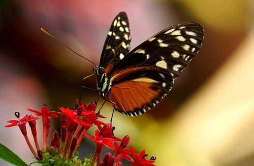 butterfly  exotic  insect