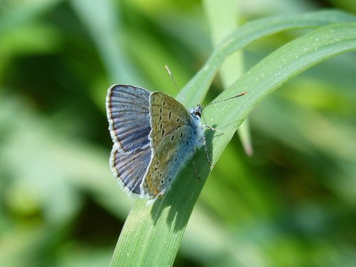 butterfly  blue butterfly  polyommatus icarus