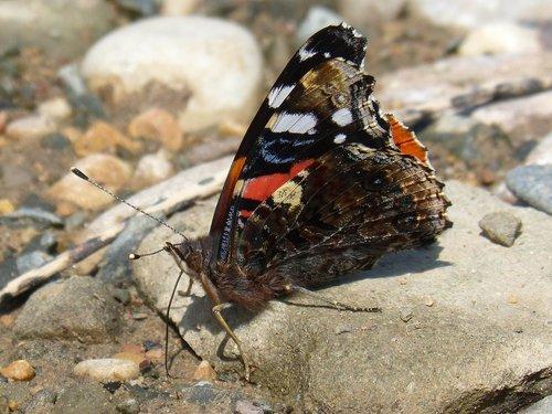 butterfly  vanesa  vanessa atalanta